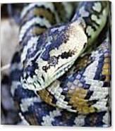 Carpet Python Canvas Print