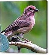 Cassin's Finch Canvas Print