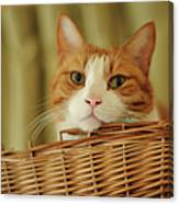 Cat In Box Canvas Print