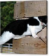 Cat Looking Thru The Knot Hole Canvas Print