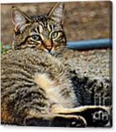 Cat Nap Interuption Canvas Print