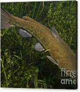 Catfish Protecting Her Young Canvas Print