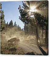 Cattle Cross A Gravel Road On A Fall Canvas Print