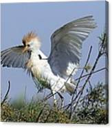 Cattle Egret In Breeding Plumage Canvas Print
