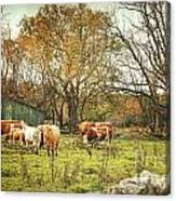 Cattle Gazing On Remaining Green Grass Canvas Print