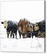 Cattle In A Snowstorm In Southwest Michigan Canvas Print