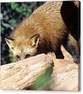 Cautious Red Fox Canvas Print