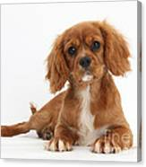 Cavalier King Charles Spaniel Puppy Canvas Print