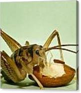 Cave Cricket Eating An Almond 2 Canvas Print