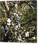 Cedar Blue Canvas Print