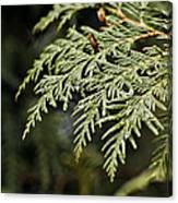 Cedar Due Droplets Canvas Print