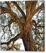 Centenarian Cork Tree Canvas Print