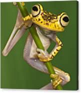 Chachi Tree Frog Hypsiboas Picturatus Canvas Print