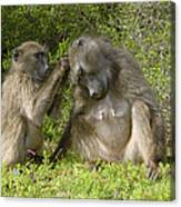 Chacma Baboons Grooming Canvas Print