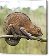 Chamaeleon Clings To A Branc Canvas Print