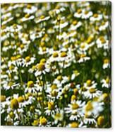 Chamomile Fields Canvas Print