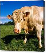 Charolais Bull, Ireland Canvas Print