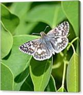 Checkered Skipper Canvas Print