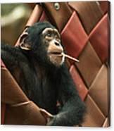 Cheeky Chimp Canvas Print