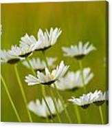 Cheerful Daisy Wildflowers Blowing In The Wind Canvas Print