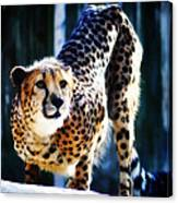 Cheeta Canvas Print