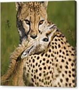 Cheetah Acinonyx Jubatus With Its Kill Canvas Print