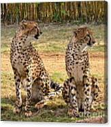 Cheetah Chat 1 Canvas Print