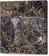Cheetah Kitten Canvas Print