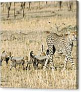 Cheetah Mother And Cubs Canvas Print