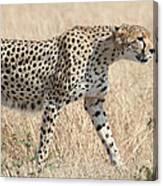Cheetah Stepping Out Canvas Print