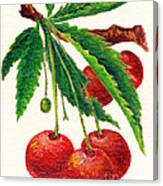 Cherries On A Branch Canvas Print