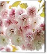 Cherry Blossom (cerasus Sp.) Canvas Print