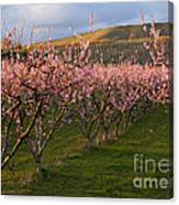 Cherry Blossom Pink Canvas Print