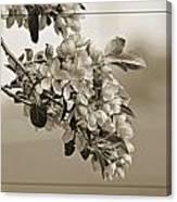 Cherry Blossoms Sepia Canvas Print