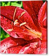 Cherry Red Lily Canvas Print
