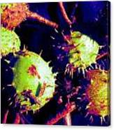 Chestnut Pods 1 Canvas Print