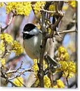 Chickadee Among The Blossoms Canvas Print
