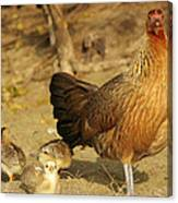 Chicken And Chicks Canvas Print