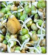 Chickpea And Other Lentils In The Form Of Healthy Eatable Sprouts Canvas Print