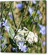Chicory And Lace Canvas Print
