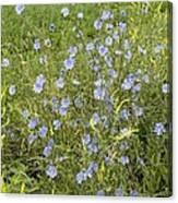 Chicory Flowers (cichorium Intybus) Canvas Print