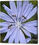 Chicory For Three Canvas Print