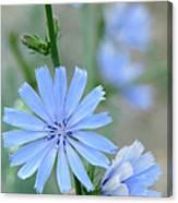 Chicory Canvas Print