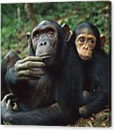 Chimpanzee Adult Female With Orphan Baby Canvas Print