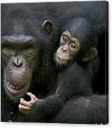 Chimpanzee Female Holding Infant Canvas Print