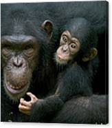 Chimpanzee Pan Troglodytes Adult Female Canvas Print