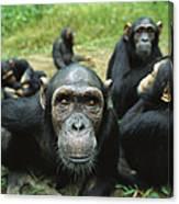 Chimpanzee Pan Troglodytes Female Canvas Print