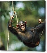 Chimpanzee Pan Troglodytes Resting Canvas Print