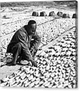 Chinese Man Drying Fish On The Shore - C 1902 Canvas Print