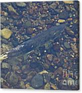 Chinook Salmon Canvas Print